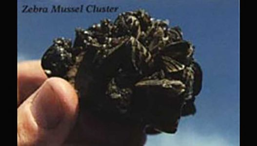 Warning: Invasive mussels could be living in your home aquarium, DNR says