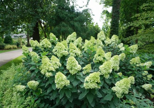 Panicle hydrangeas don't fear late frosts, and neither should you
