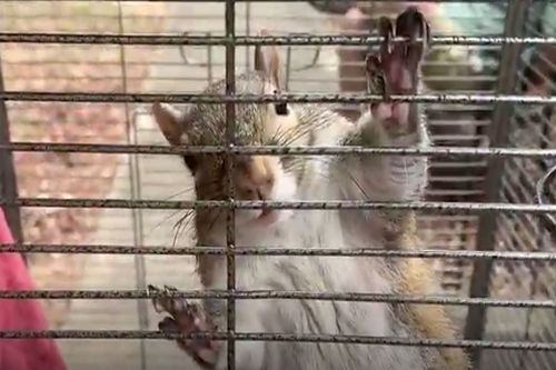 'Attack squirrel' hopped up on meth rescued during drug bust
