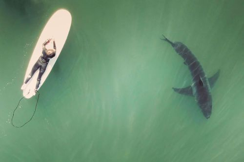 Terrifying moment great white shark is spotted feet away from surfers