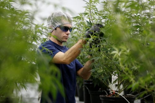 Canadian cannabis producer Canopy Growth expects to enter the US market next year to grab a piece of a $1.6 billion opportunity