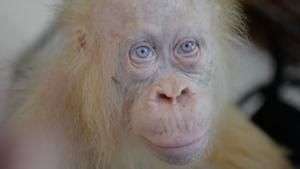 This is the world's only known albino orangutan