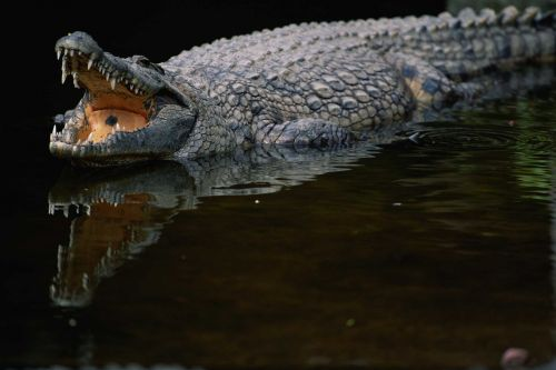 Fisherman narrowly escapes crocodile attack by poking it in the eye